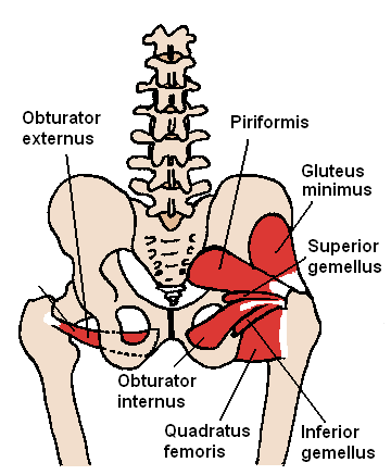 Posterior_Hip_Muscles_1